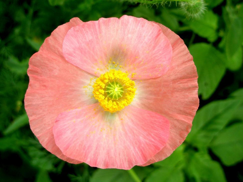Download Free Stock HD Photo of Pink Poppy Online
