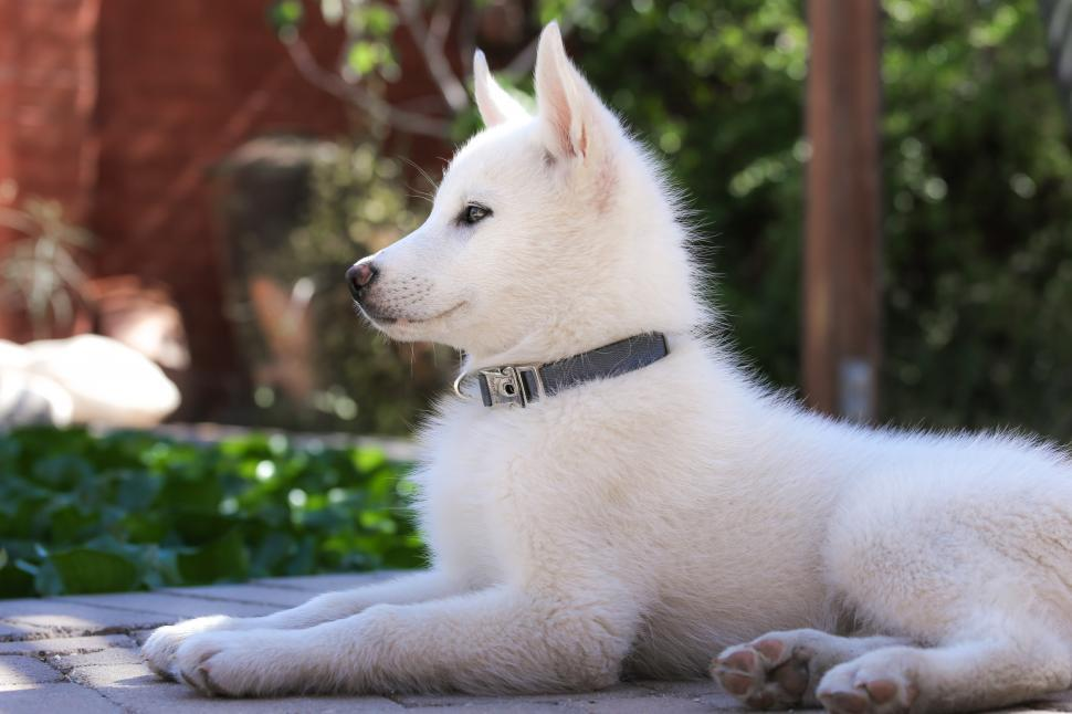 Download Free Stock HD Photo of Husky Puppy Laying Down Online