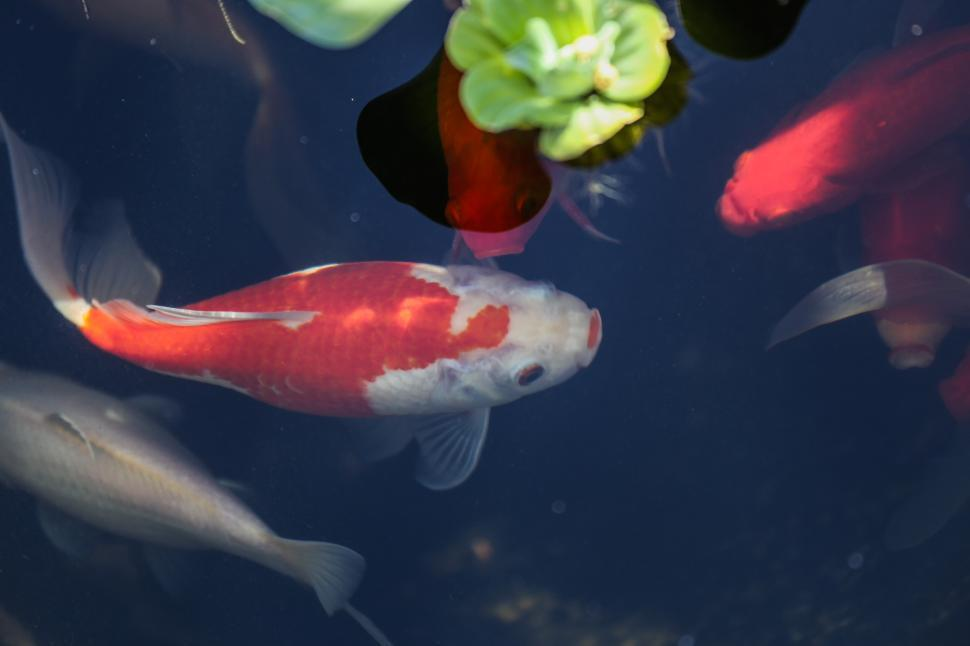Download Free Stock HD Photo of Goldfish in pond Online