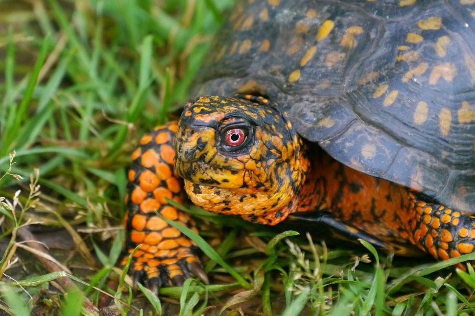 Download Free Stock Photo of Eastern Box Turtle
