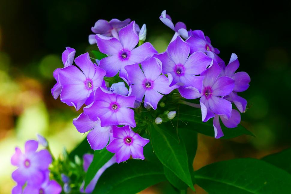 Download Free Stock Photo of Garden Phlox Blooms