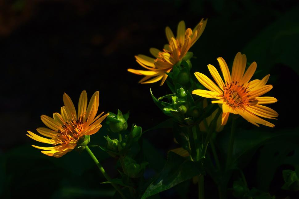Download Free Stock HD Photo of Golden Aster Flowers, Dark Background Online
