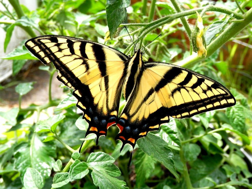 Download Free Stock HD Photo of Two-tailed Swallowtail Butterfly Online
