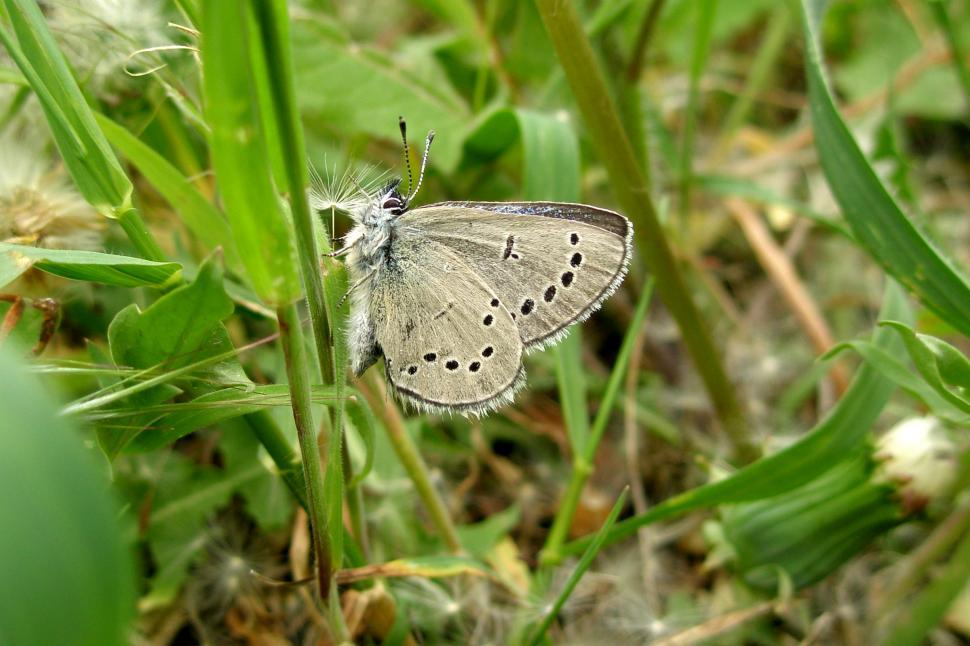 Download Free Stock HD Photo of Silvery Blue Butterfly Online