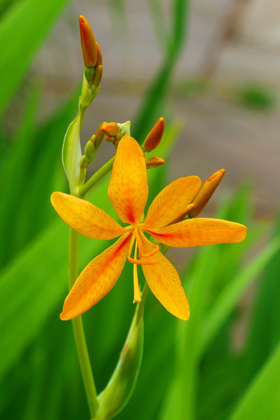 Download Free Stock Photo of Orange Leopard Flower And Buds
