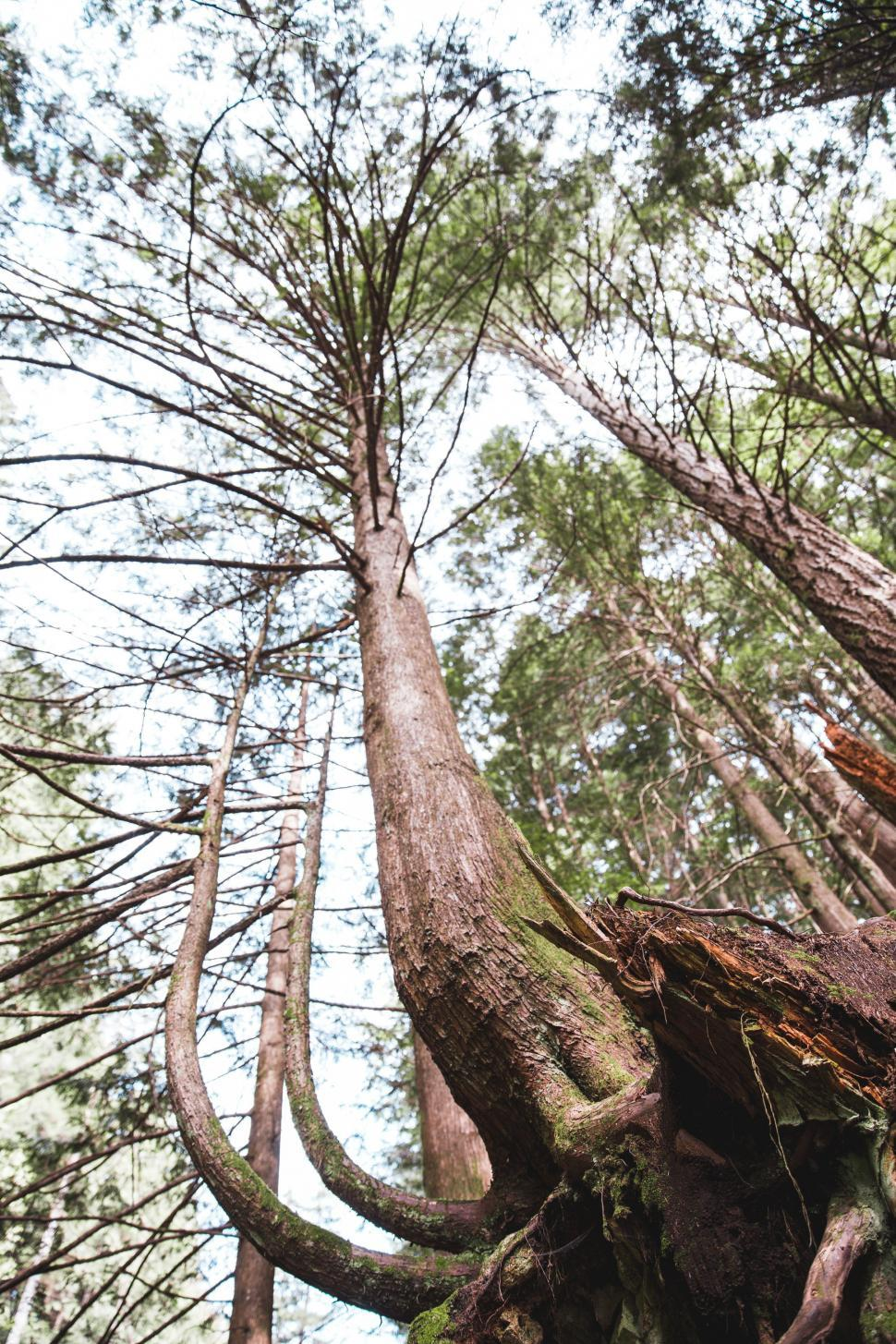 Download Free Stock HD Photo of A tall tree with big roots Online