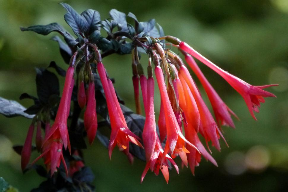 Download Free Stock Photo of Coral Honeysuckle Flowers