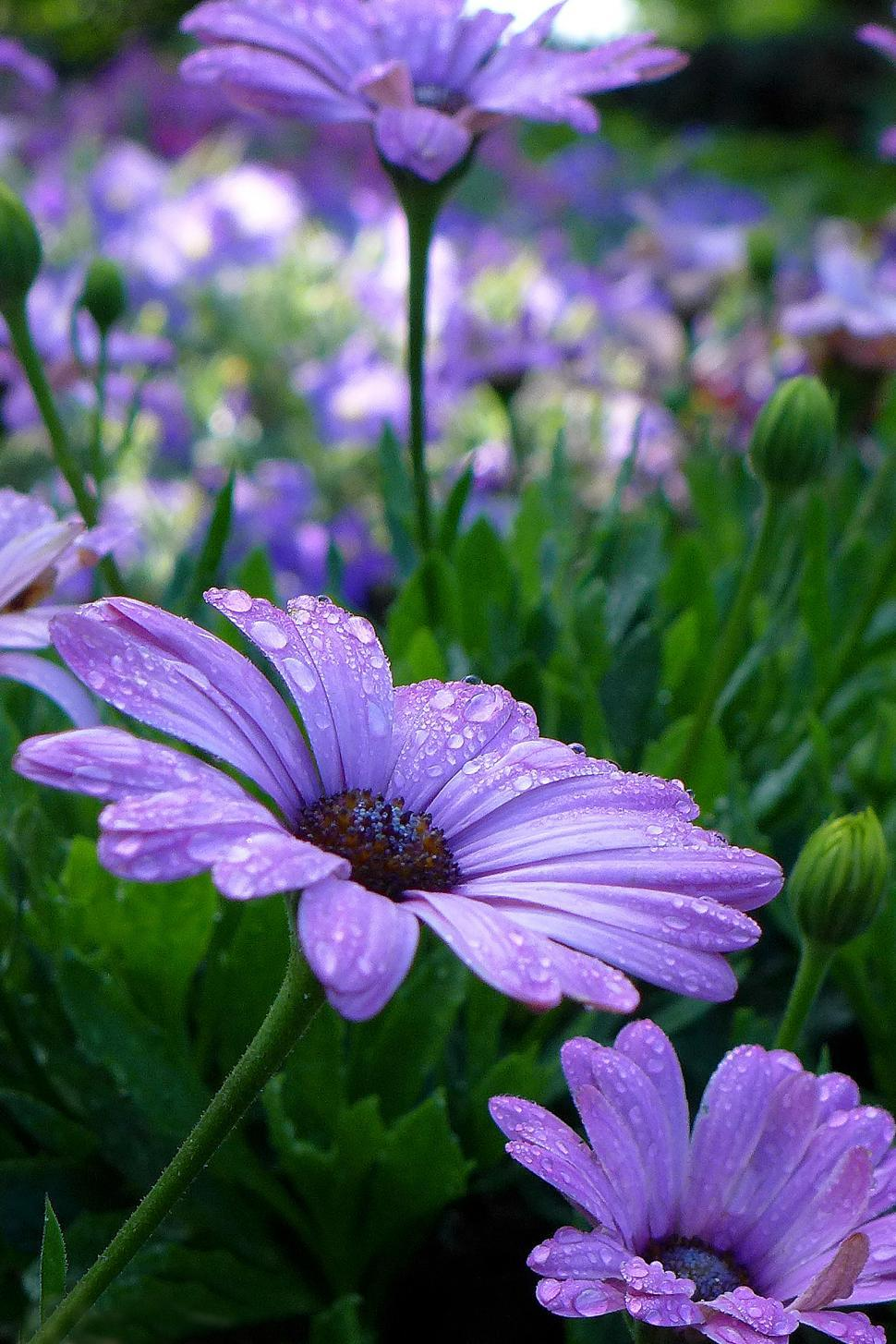 Download Free Stock HD Photo of African Daisy Osteospermum - Purple Blooms Online