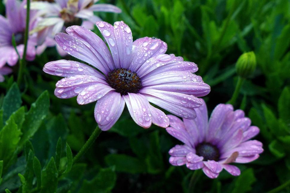 Download Free Stock HD Photo of African Daisy Osteospermum Online