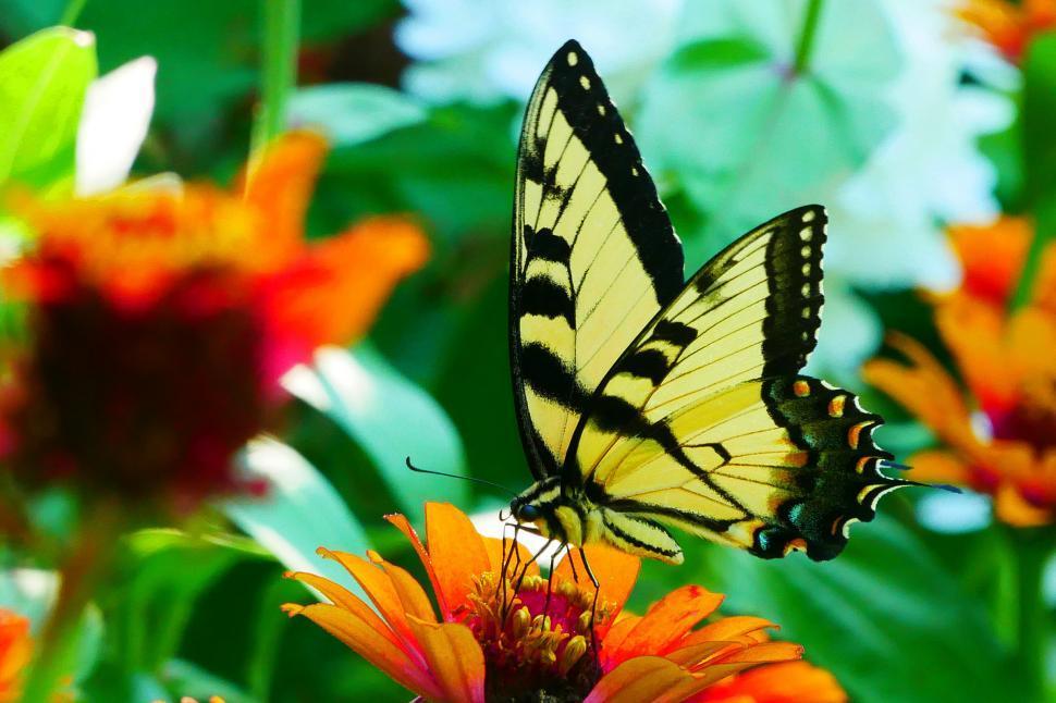 Download Free Stock HD Photo of Swallowtail Butterfly on Orange Zinnia Online