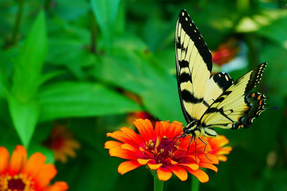 Download Free Stock Photo of Swallowtail Butterfly Landed on Zinnia Flower