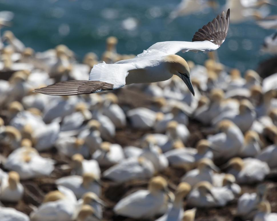 Download Free Stock Photo of Northern Gannets in flight