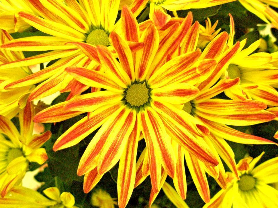 Download Free Stock Photo of Painted Chrysanthemum