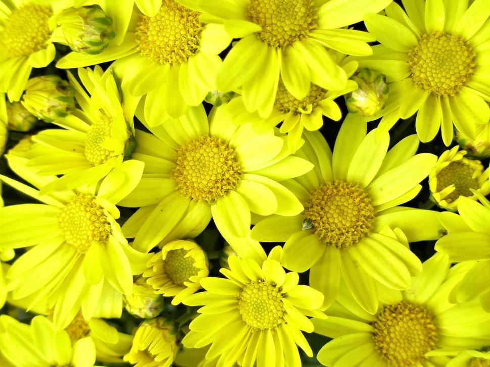 Download Free Stock Photo of Bright Yellow Chrysanthemum