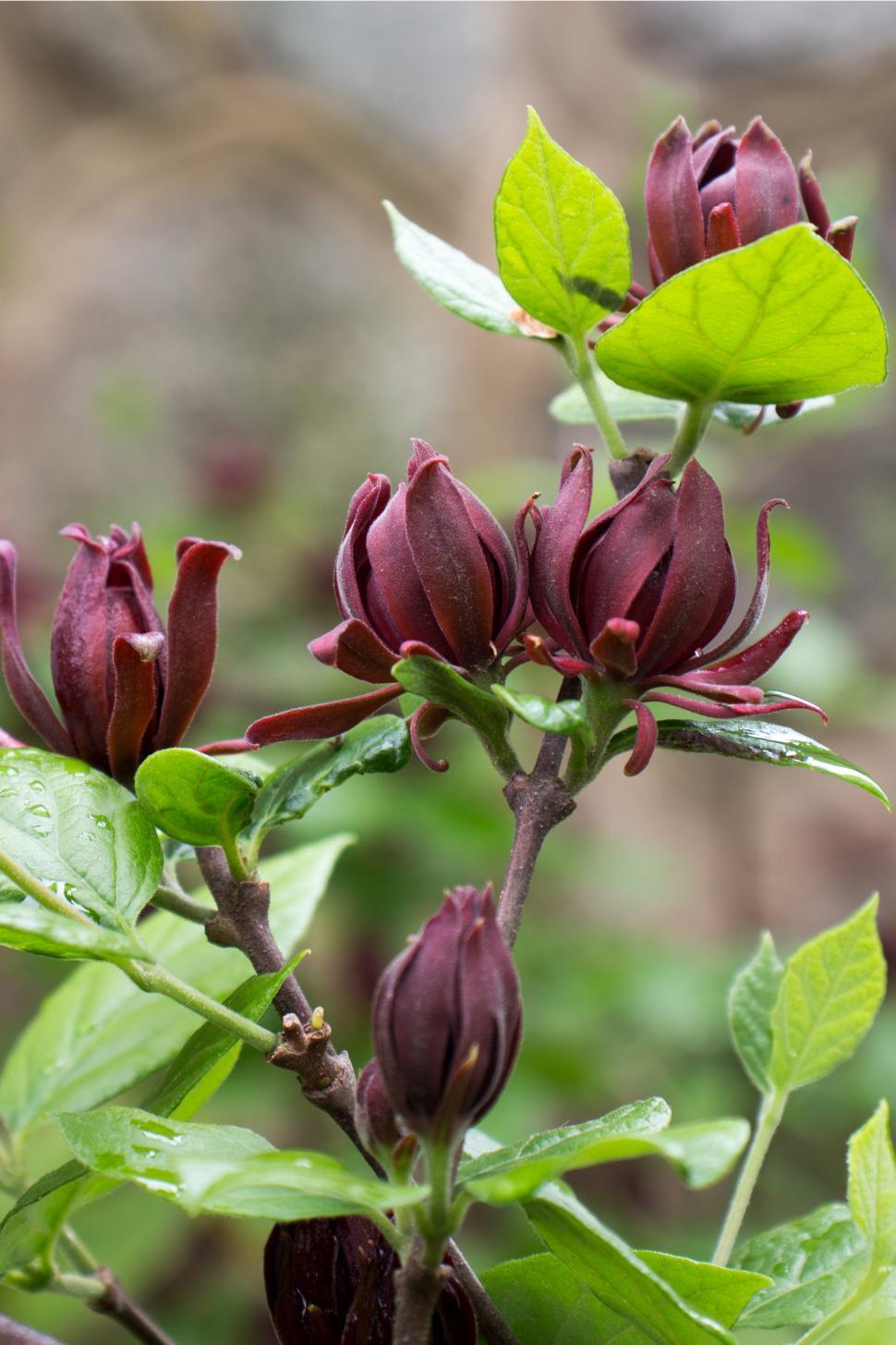 Download Free Stock Photo of Carolina Allspice Blooms