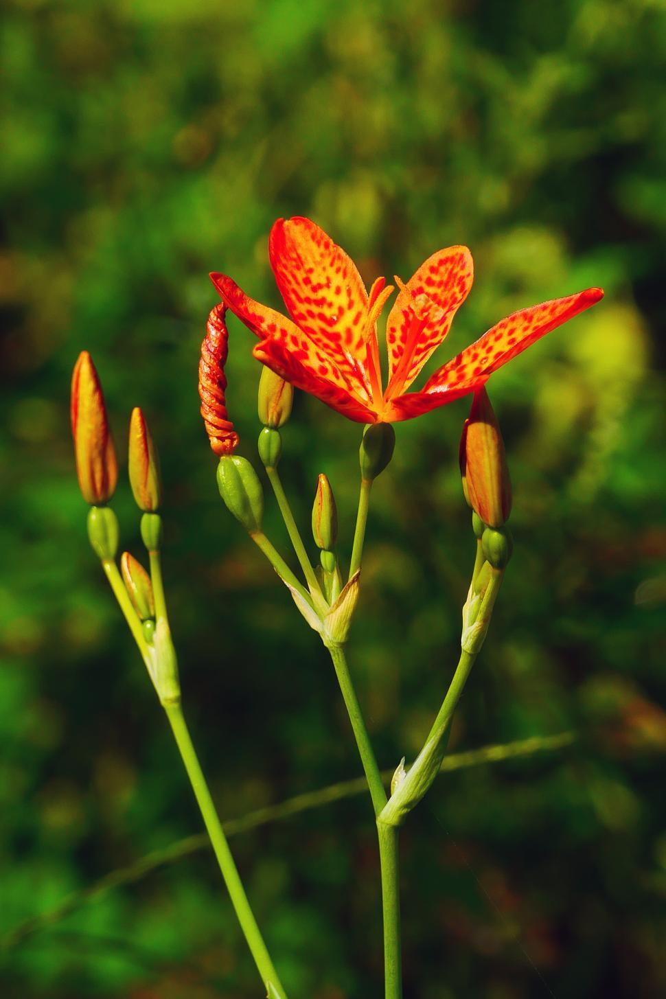 Download Free Stock HD Photo of Leopard Flower, Bud, Pods Online