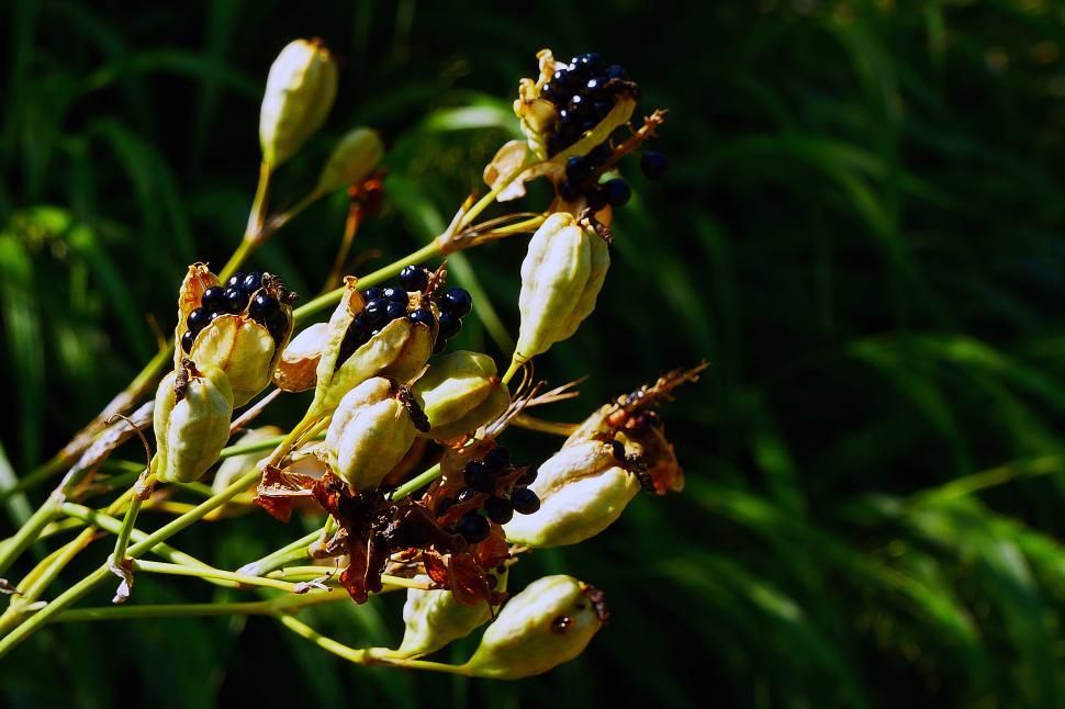 Download Free Stock HD Photo of Leopard Flower Seed Pods Online