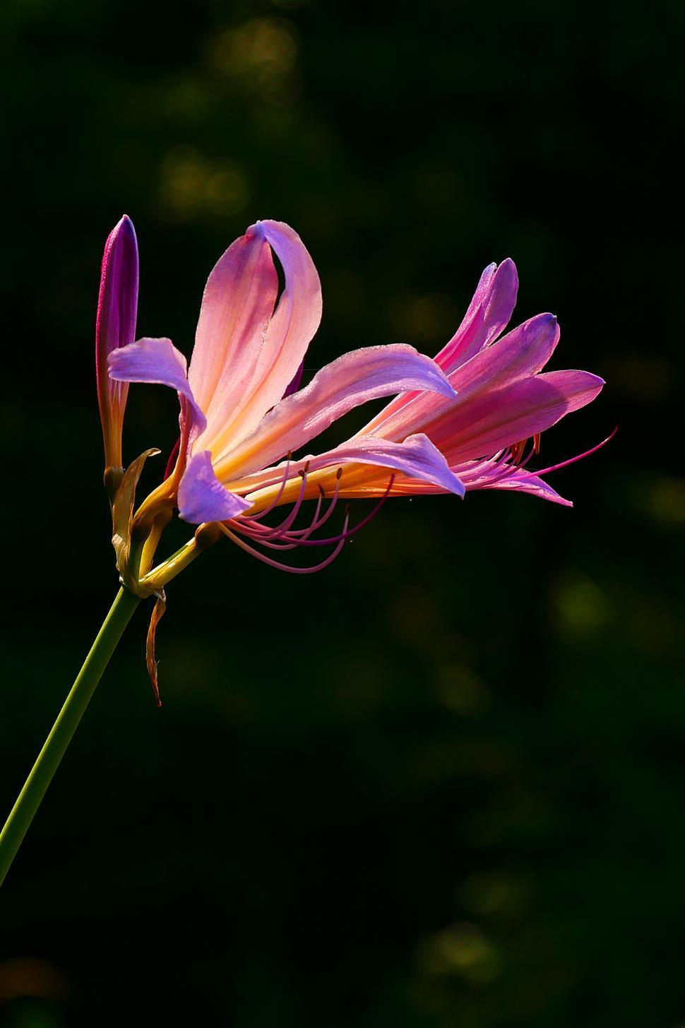 Download Free Stock HD Photo of Lycoris squamigera Blooms Online
