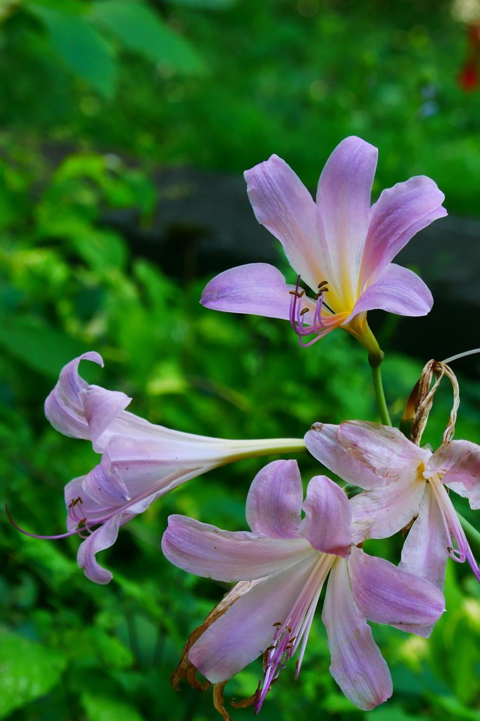 Download Free Stock HD Photo of Group of Surprise Lily Flowers Online