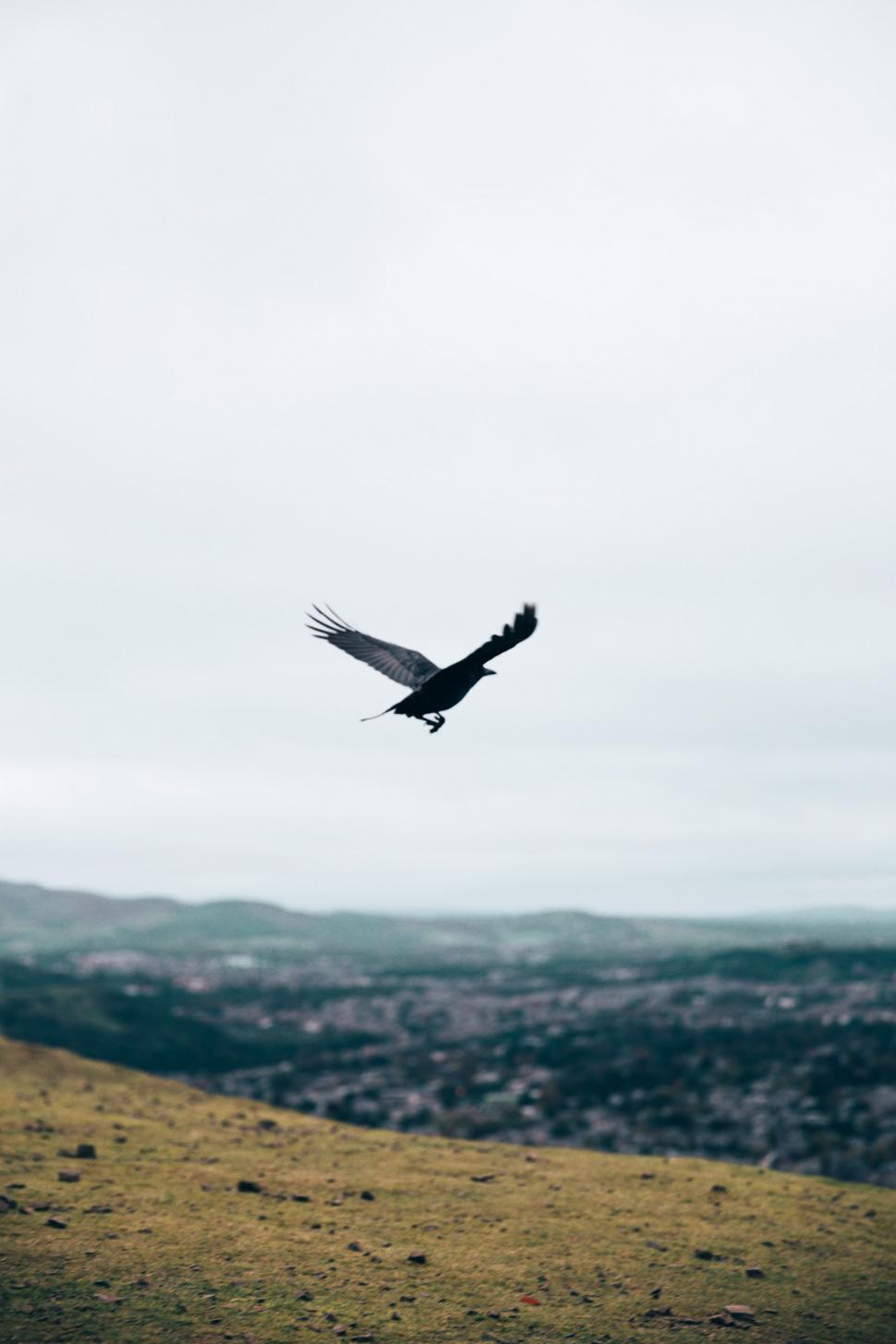 Download Free Stock Photo of A black crow flying