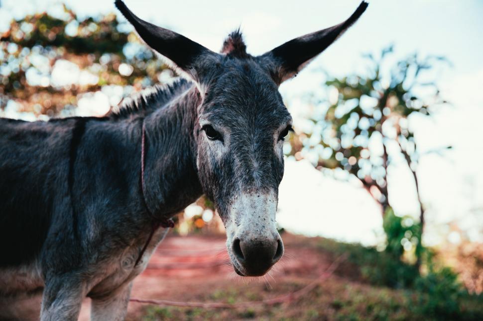Download Free Stock Photo of Donkey