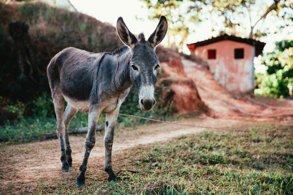 Download Free Stock Photo of Donkey in the outdoors