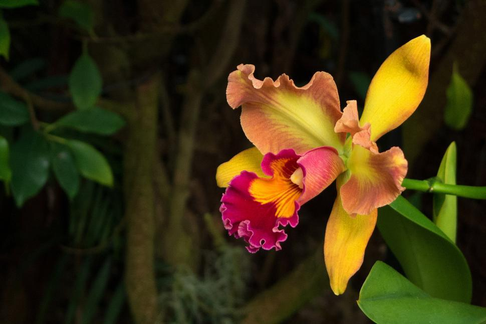 Download Free Stock Photo of Yellow Red Flower Cattleya Orchid