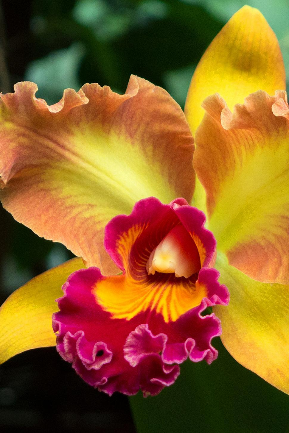 Download Free Stock Photo of Yellow Red Flower Cattleya Orchid Bloom