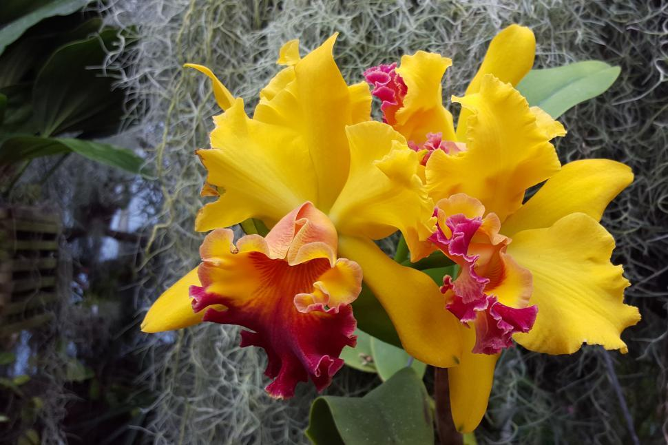 Download Free Stock Photo of Yellow Flowers Cattleya Orchids
