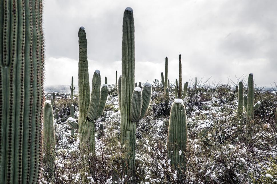 Download Free Stock Photo of Forest of Tall Saguaro Cactus After Snow
