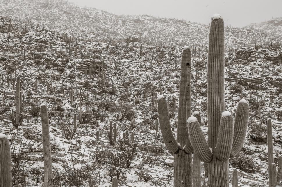 Download Free Stock Photo of Cactus with Snowy Rolling Hills