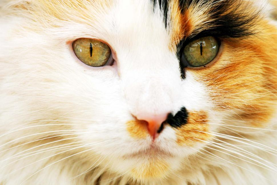 Download Free Stock Photo of Calico Cat Face