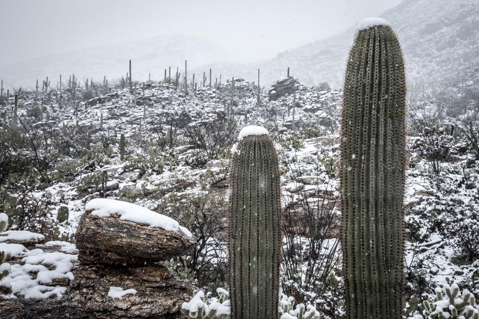 Download Free Stock Photo of Two Sahuaro Cactus with Snow
