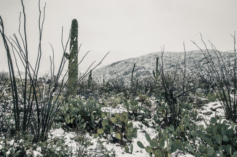Download Free Stock Photo of Cactus in the Desert with Snow