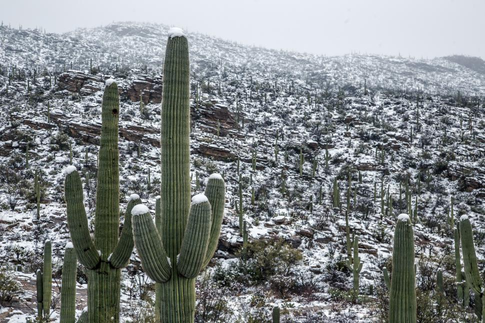 Download Free Stock Photo of Snow Topped Saguaro Cactus