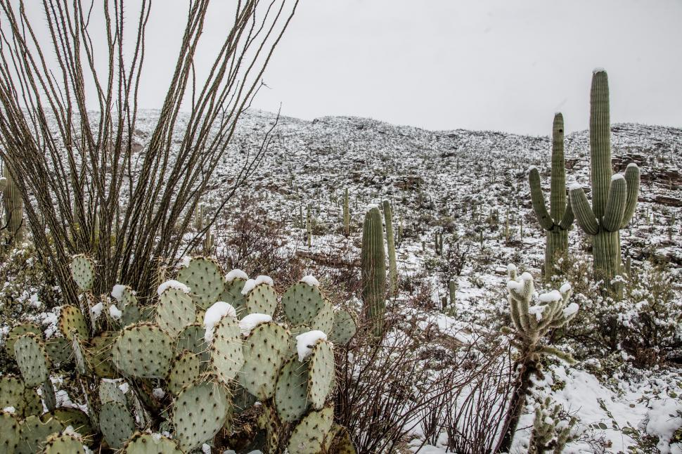 Download Free Stock Photo of Cactus Pads in Snow