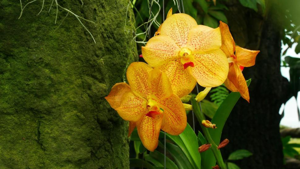 Download Free Stock HD Photo of Yellow Flowers Of Vanda Orchid Online