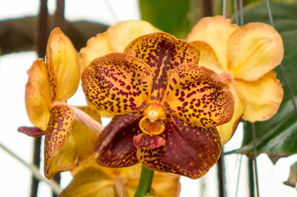 Download Free Stock HD Photo of Yellow Orange Flowers Of Vanda Orchid Online