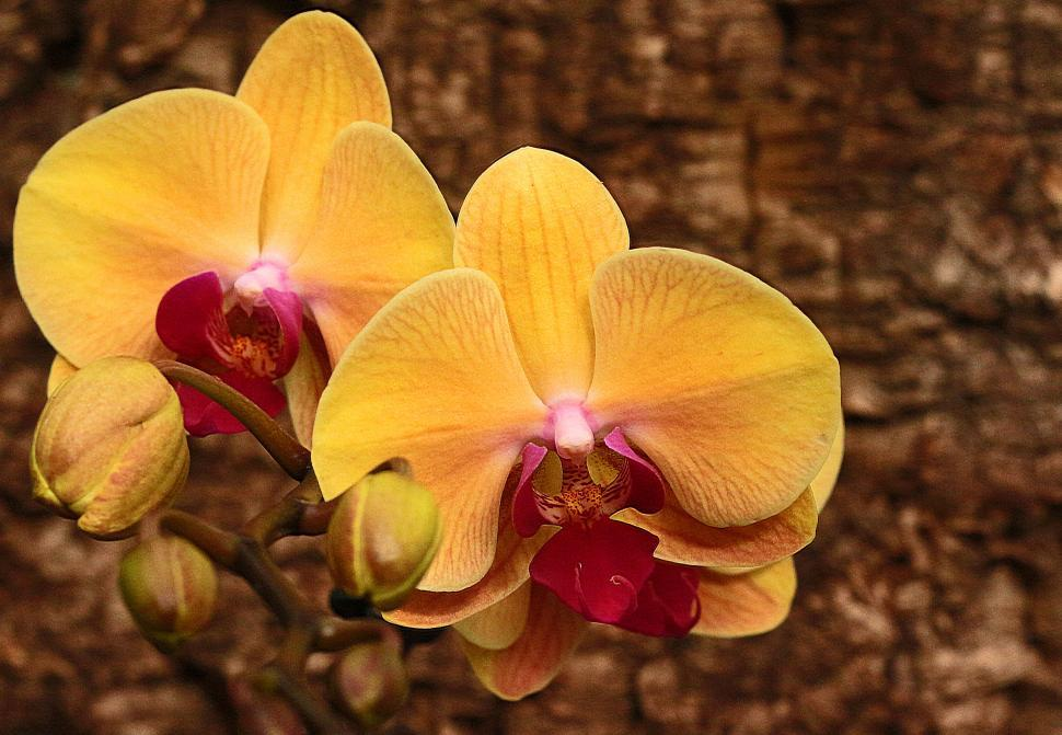 Download Free Stock Photo of Orange Moth Orchid Flowers