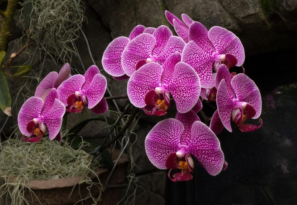 Download Free Stock Photo of Blooms of Pink and White Moth Orchid Flowers