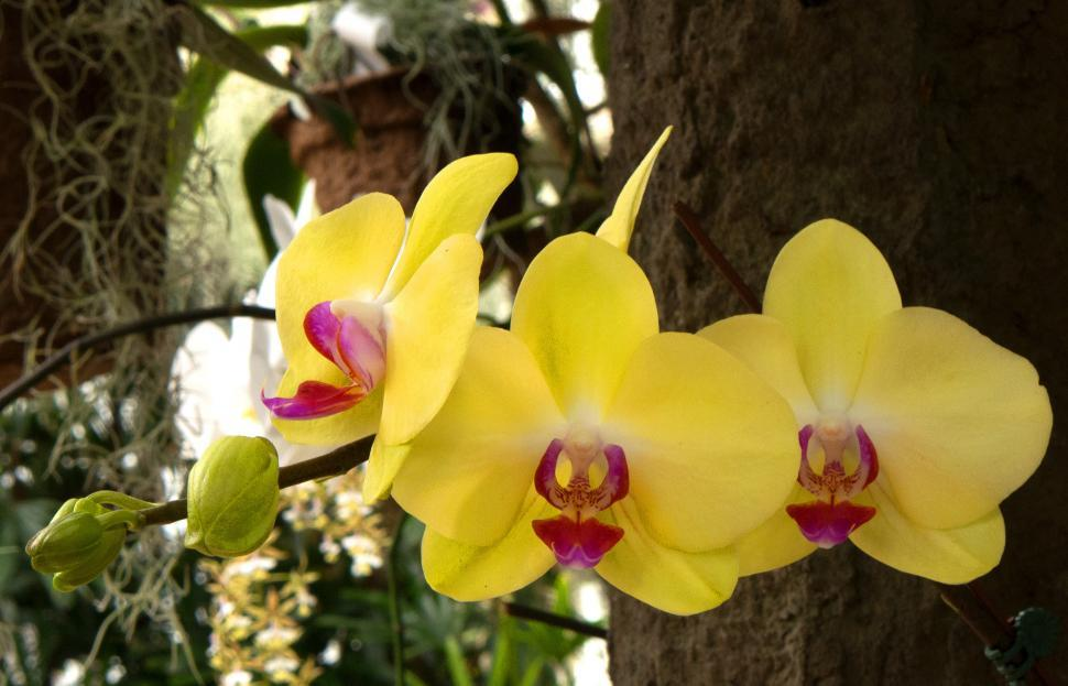 Download Free Stock HD Photo of Three Yellow Moth Orchid Flowers Online