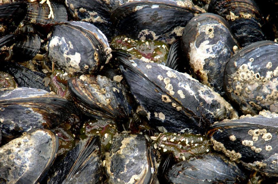 Download Free Stock HD Photo of Mussels at Salt Creek Tidal Pools Olympic Penninsula, WA Online