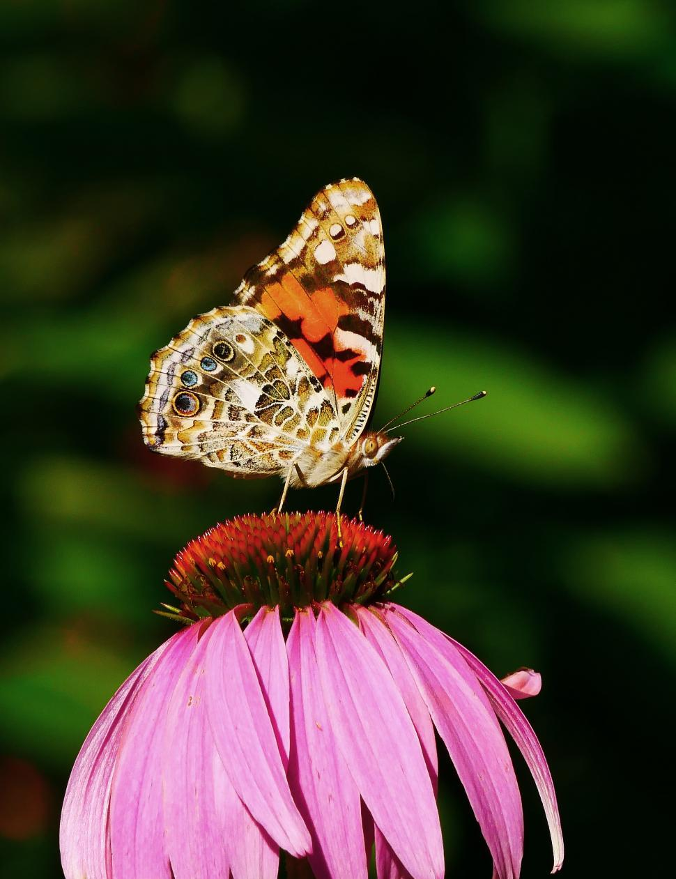 Download Free Stock Photo of Skipper Butterfly On Single Coneflower