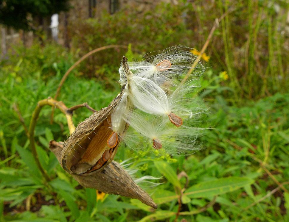 Download Free Stock Photo of Milkweed Seeds Leaving Seed Pods