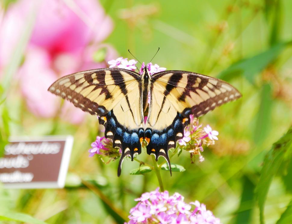 Download Free Stock HD Photo of Common Yellow Swallowtail Butterfly on Verbena Flowers Online