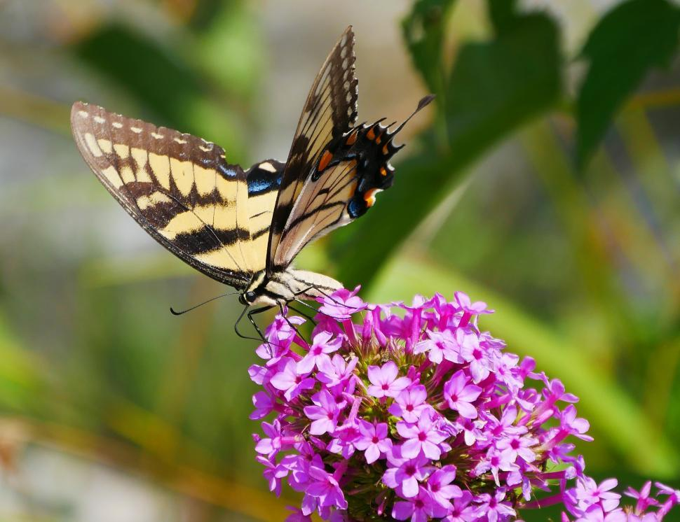 Download Free Stock HD Photo of Common Yellow Swallowtail Butterfly Online