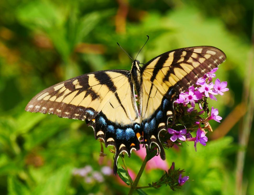 Download Free Stock Photo of Wings of Black and Yellow Swallowtail Butterfly