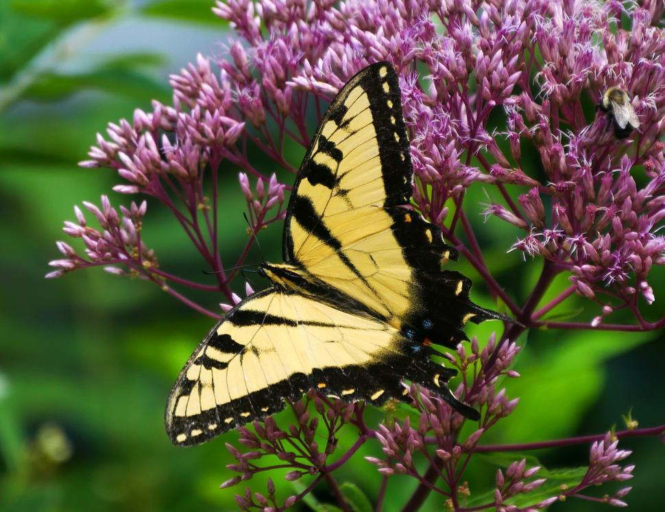 Download Free Stock HD Photo of Common Yellow Swallowtail Butterfly with Open Wings Online