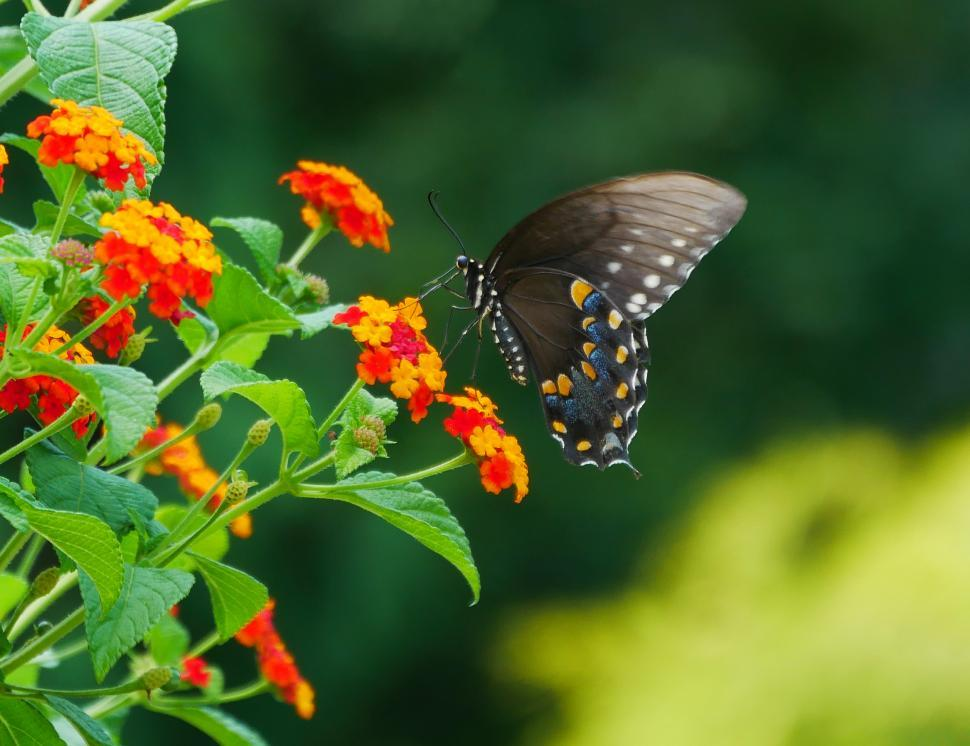 Download Free Stock HD Photo of Black Swallowtail Butterfly Online
