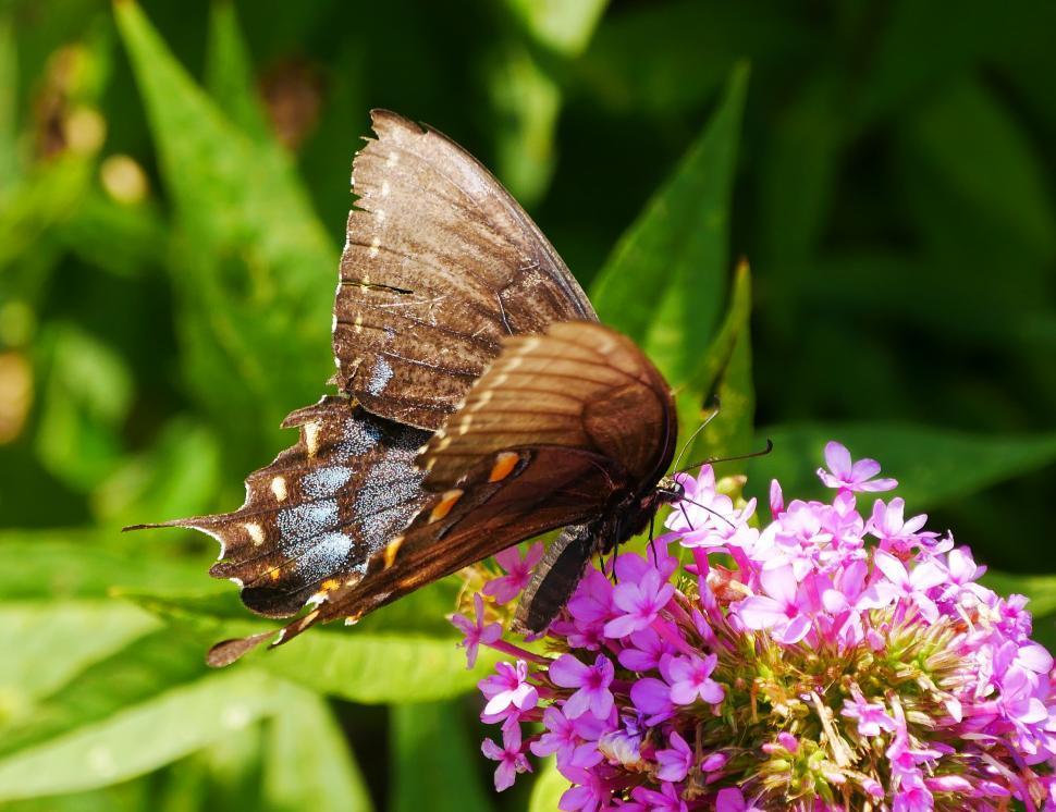 Download Free Stock Photo of American Swallowtail Feeding on Verbena Flowers